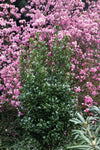 Proven Winners® Shrub Plants|Ilex - Castle Wall Blue Holly  1