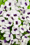 Annual Plants|Torenia - Catalina Grape-o-Licious Wishbone Flower 1