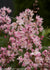Proven Winners® Shrub Plants|Deutzia - Yuki Cherry Blossom 1