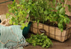Proven Winners® Garden to Table Plants|Slo-Bolting Cilantro 2