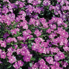 Proven Winners® Annual Plants|Catharanthus - Cora Deep Lavender Vinca 1