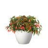 Proven Winners® Patio Plants|Curacao Dream Upright Combination 1