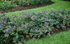 Proven Winners® Shrub Plants|Spiraea - Double Play Blue Kazoo Spirea 2