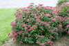 Proven Winners® Shrub Plants|Spiraea - Double Play Red Spirea 2