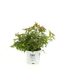 Proven Winners® Shrub Plants|Spiraea - Double Play Red Spirea 3