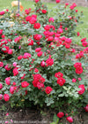 Proven Winners® Shrub Plants|Rosa - Oso Easy Double Red Landscape Rose 2