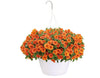 Patio Plants|Calibrachoa - Superbells Dreamsicle Mono Hanging Basket  1