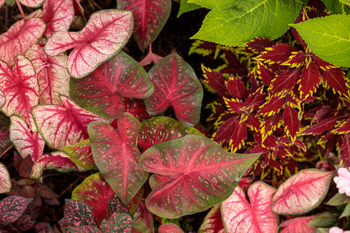Proven Winners® Annual Plants|Caladium - Heart to Heart 'Fast Flash' 1
