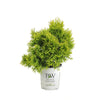 Proven Winners® Shrub Plants|Thuja - Filips Magic Moment' Arborvitae 4