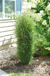 Proven Winners® Shrub Plants|Rhamnus - Fine Line® Improved Buckthorn 1