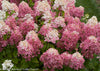 Proven Winners® Shrub Plants|Paniculata - Fire Light Hardy Hydrangea 1