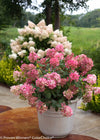 Proven Winners® Shrub Plants|Paniculata - Fire Light Hardy Hydrangea 3
