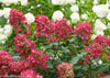Proven Winners® Shrub Plants|Paniculata - Fire Light Hardy Hydrangea 4