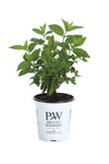 Proven Winners® Shrub Plants|Paniculata - Fire Light Hardy Hydrangea 6