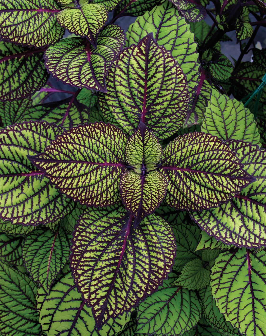 Proven Winners® Annual Plants|Solenostemon - Fishnet Stockings Coleus 1