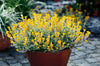 Flambe® Yellow Strawflower (Chrysocephalum)