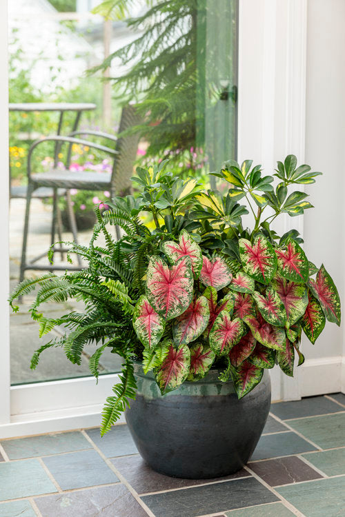 Proven Winners® Annual Plants|Caladium - Heart to Heart 'Flatter Me' 2