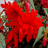 Proven Winners® Annual Plants|Begonia - Funky Orange  1