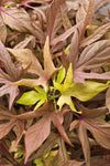 Illusion® Garnet Lace Sweet Potato Vine (Ipomoea)