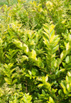 Proven Winners® Shrub Plants|Ligustrum - Golden Ticket Privet 1
