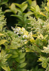 Proven Winners® Shrub Plants|Ligustrum - Golden Ticket Privet 3