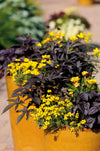 Proven Winners® Annual Plants|Bidens - Goldilocks Rocks 2