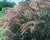 PRE-ORDER Graceful Grasses® Purple Fountain Grass (Pennisetum)