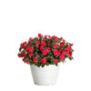 Proven Winners® Patio Plants|Great Barrier Reef Upright Combination 1
