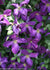 Proven Winners® Shrub Plants|Clematis - Happy Jack Purple  1