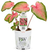 Proven Winners® Annual Plants|Caladium - Heart to Heart 'Tickle Me Pink' 3