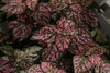 Proven Winners® Annual Plants|Hypoestes - Hippo Pink Polka Dot Plant 2