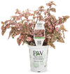 Proven Winners® Annual Plants|Hypoestes - Hippo Pink Polka Dot Plant 4
