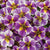 Proven Winners® Annual Plants|Calibrachoa - Superbells Holy Smokes! 1
