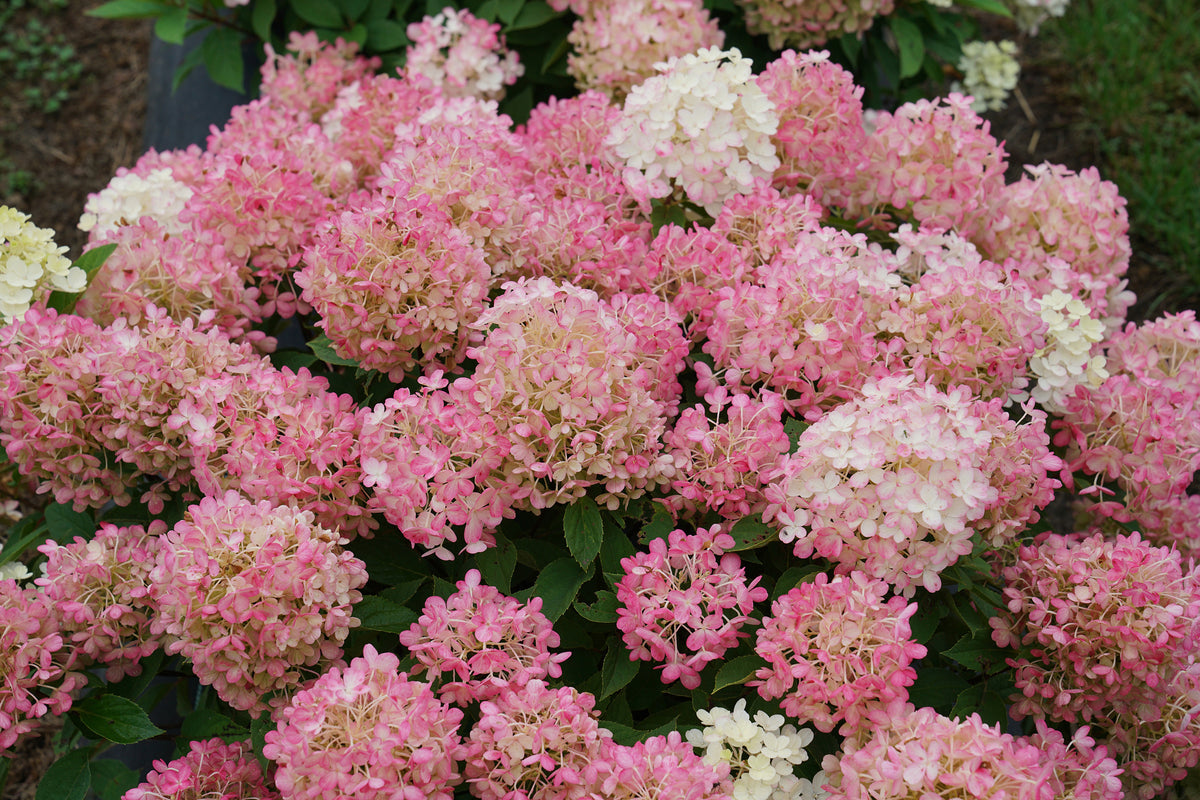 Proven Winners® Shrub Plants|Hydrangea - Fire Light 'Tidbit' 1