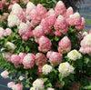 Proven Winners® Shrub Plants|Hydrangea Paniculata - Quick Fire Fab Panicle 1