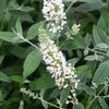 Shrub Plants|Buddleia - Lo and behold 'Ice Chip' Butterfly Bush 1