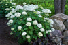 Proven Winners® Shrub Plants|Arborescens - Incrediball Smooth Hydrangea 2