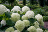 Proven Winners® Shrub Plants|Arborescens - Incrediball Smooth Hydrangea 4
