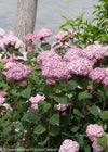 Proven Winners® Shrub Plants|Incrediball Blush Smooth Hydrangea 2