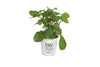Proven Winners® Shrub Plants|Arborescens - Incrediball Smooth Hydrangea 6