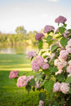 Shrub Plants|Arborescens - Invincibelle Spirit II Smooth Hydrangea 4