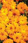 Patio Plants|Calendula - Lady Godiva Orange Mono Hanging Basket 2
