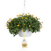 Patio Plants|Calendula - Lady Godiva Orange Mono Hanging Basket 3