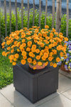 Patio Plants|Calendula - Lady Godiva Orange Mono Hanging Basket 4