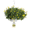 Patio Plants|Calendula - Lady Godiva Yellow Mono Hanging Basket 1