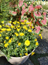 Patio Plants|Calendula - Lady Godiva Yellow Mono Hanging Basket 3