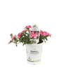 Proven Winners® Annual Plants|Verbena - Lanai Bright Pink 2