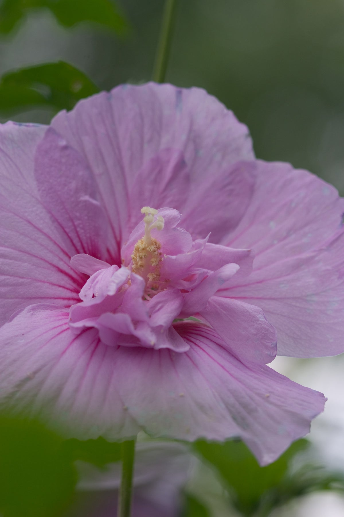 Proven Winners® Shrub Plants|Hibiscus - Lavender Chiffon Rose of Sharon 1
