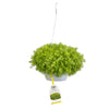 Proven Winners® Patio Plants|Sedum - Lemon Coral Mono Hanging Basket 1