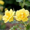 Proven Winners® Shrub Plants|Rosa - Oso Easy Lemon Zest Landscape Rose 1